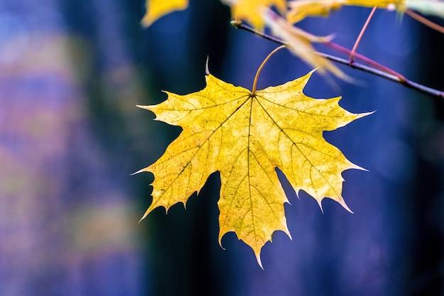 Folha de bordo amarela na floresta em um fundo desfocado azul escuro