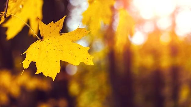 Folha de bordo amarela na floresta em uma árvore em um fundo desfocado em cores quentes de outono