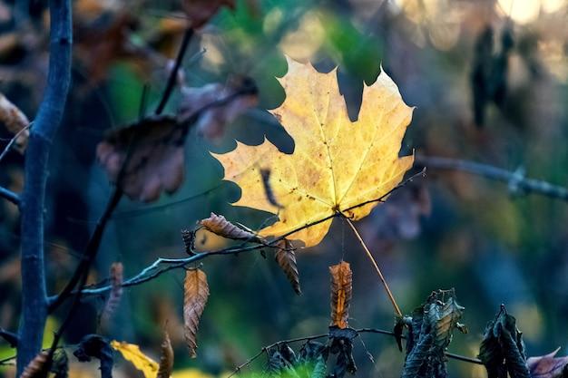 Folha de bordo amarela na floresta