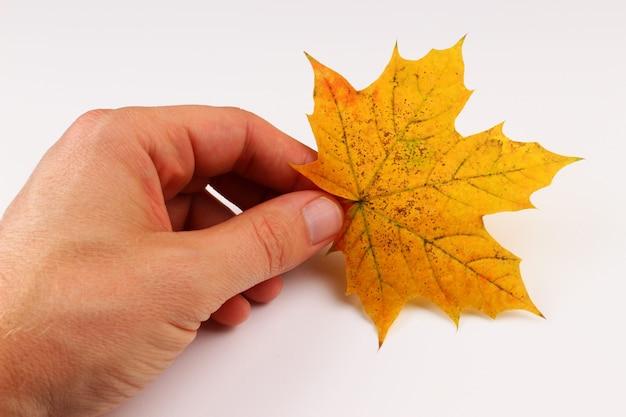 Folha de bordo amarela na mão, superfície branca