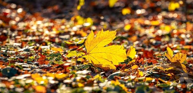 Folha de bordo amarela no chão ao sol, folhas de outono caem