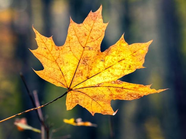 Folha de bordo amarela perto da floresta em um fundo desfocado