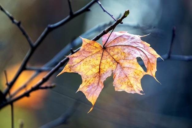 Folha de bordo brilhante de outono em um galho de árvore seco