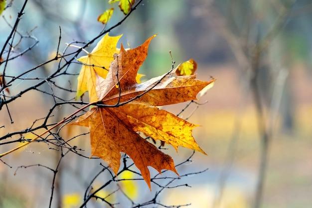 Folha de bordo brilhante de outono na floresta