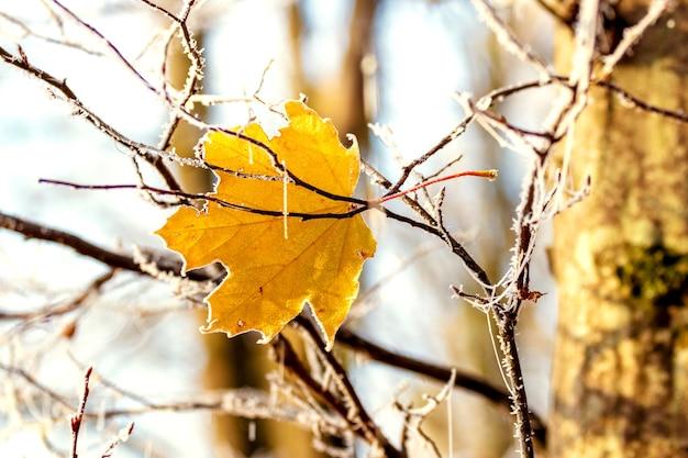 Folha de bordo coberta de geada na floresta em uma manhã ensolarada
