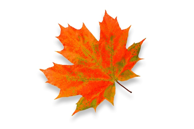 Folha de bordo colorida bonita isolada no fundo branco