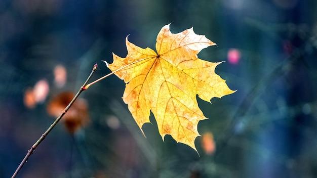Folha de bordo de outono amarela na floresta