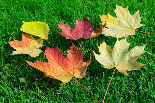 Folha de bordo de outono na grama verde, folha vermelha