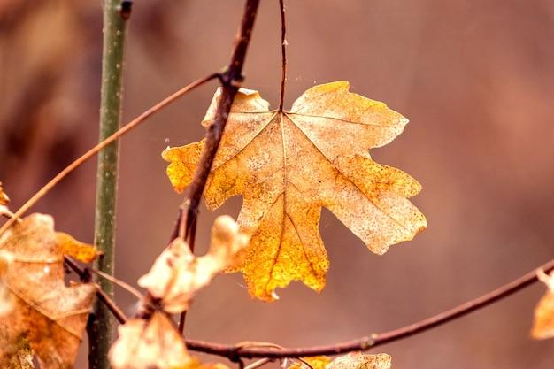 Folha de bordo de outono seca em um galho na floresta