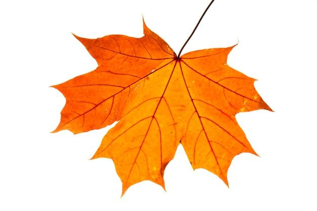 Folha de bordo do outono isolada no fundo branco close-up