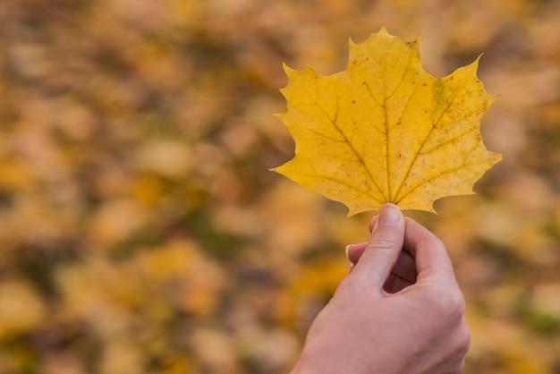 Folha de bordo em uma mão. a mão da mulher está segurando uma folha de bordo amarela em um fundo amarelo ensolarado de outono. conceito de outono ensolarado.