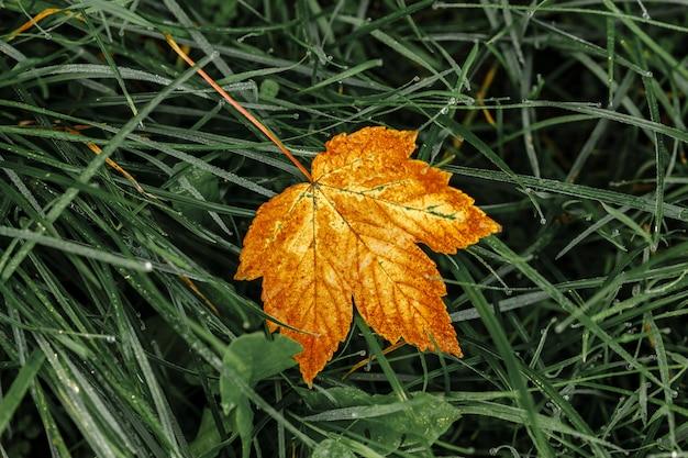 Folha de bordo laranja em uma grama verde