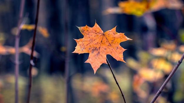 Folha de bordo laranja na floresta em um fundo escuro