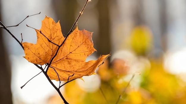 Folha de bordo laranja seca na floresta em um fundo desfocado