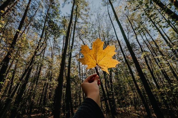 Folha de bordo outono na mão da mulher. foco seletivo