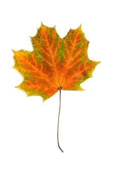Folha de bordo vermelha do outono isolada no fundo branco