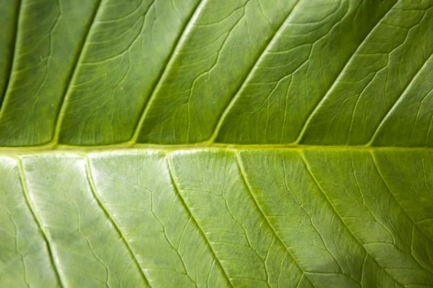 Folha de café luwak