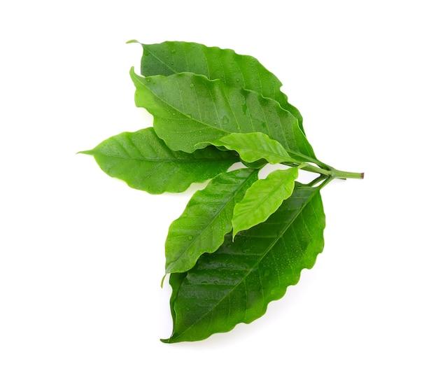 Folha de café verde com gotas de água no fundo branco