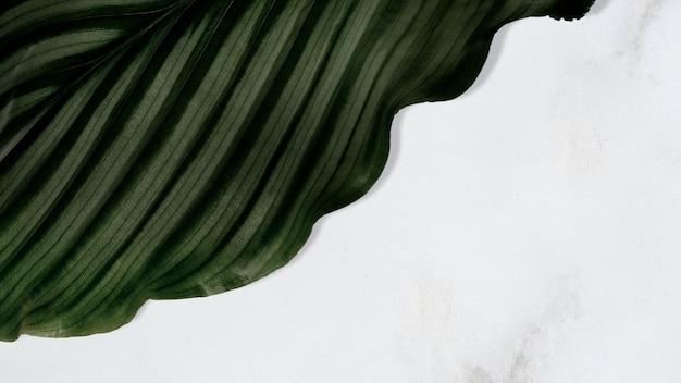 Folha de calathea orbifolia em fundo de textura