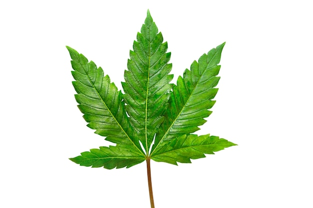 Folha de cannabis em um fundo branco isolado. as folhas de maconha medicinal da variedade jack herer são um híbrido de sativa e indica.