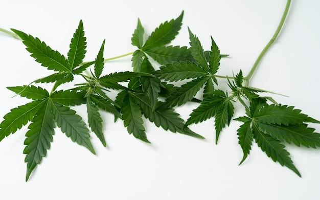Folha de cannabis, folha de maconha isolada no fundo branco. cannabis jovem.
