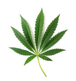 Folha de cannabis isolada