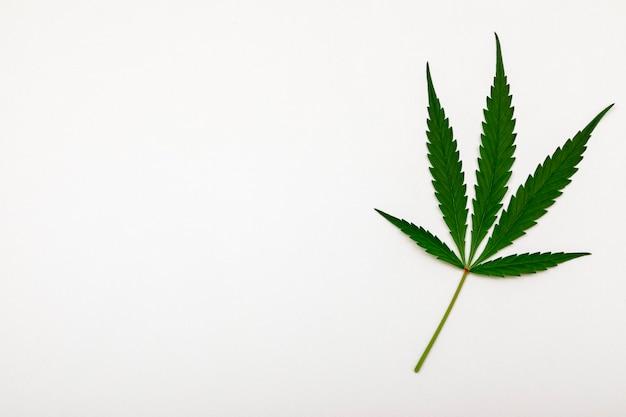 Folha de cannabis verde em fundo branco