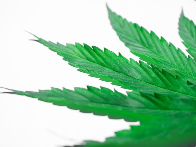 Folha de cannabis verde isolada no branco