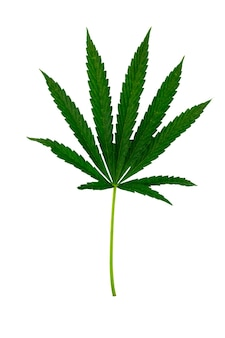 Folha de cannabis verde isolada no fundo branco
