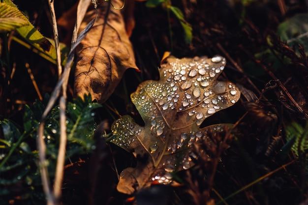 Folha de carvalho caída com gotas na superfície após a chuva