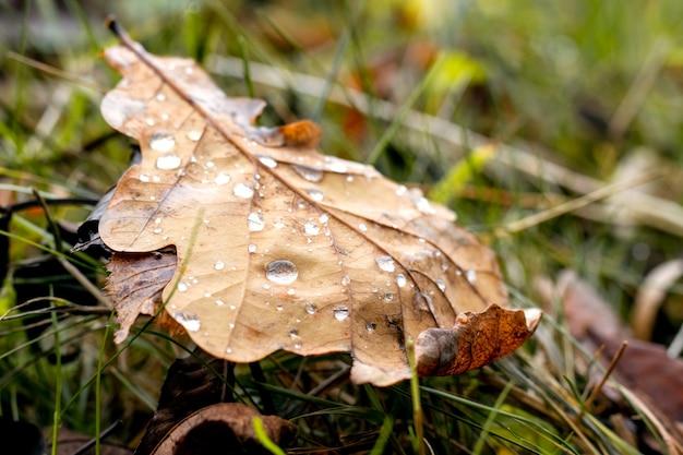 Folha de carvalho marrom no outono com gotas de chuva no chão