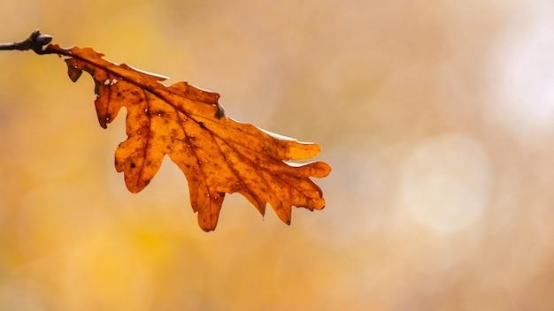 Folha de carvalho solitária em um fundo desfocado em cores quentes de outono, folhas de outono