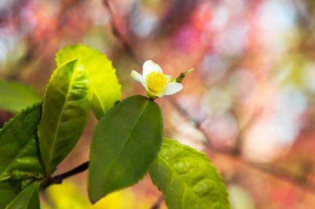 Folha de chá e flor branca na plantação de chá. flor de chá no tronco. flor de chá branco linda e fresca em uma filial na china