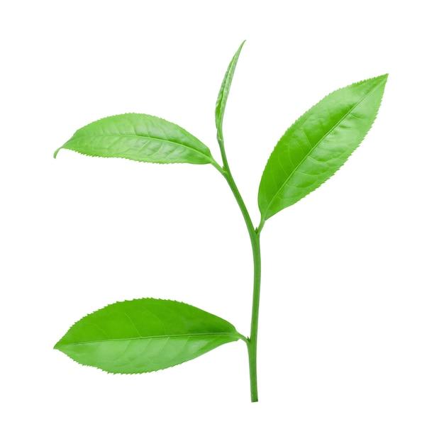 Folha de chá verde isolada no branco