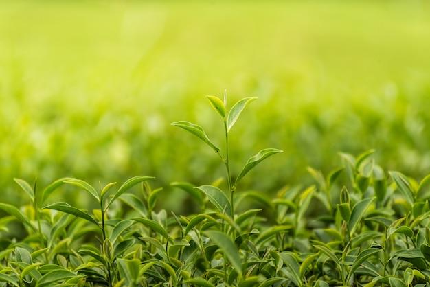 Folha de chá verde na fazenda de manhã