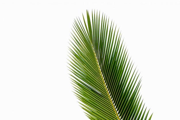 Folha de coco isolada
