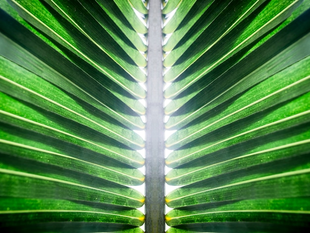 Folha de coco verde com fundo branco