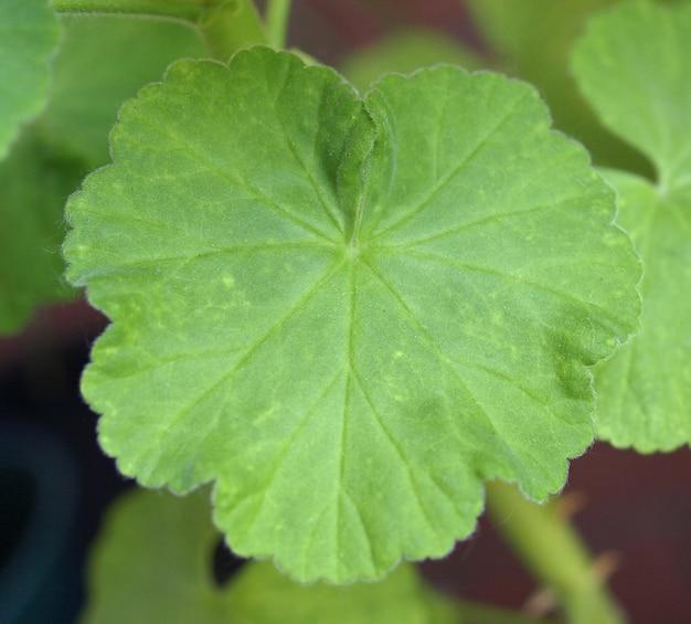 Folha de gerânio verde