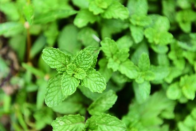 Folha de hortelã na planta