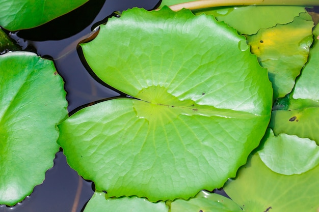 Folha de lótus na água