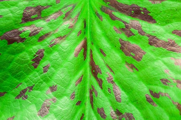 Folha de lótus verde e marrom