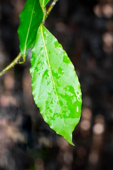 Folha de louro crescendo na natureza, fundo de ingrediente picante, close-up de uma folha em um galho