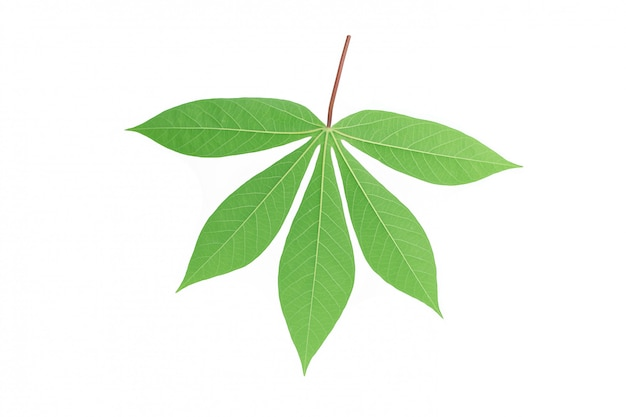 Folha de mandioca de volta isolada no fundo branco