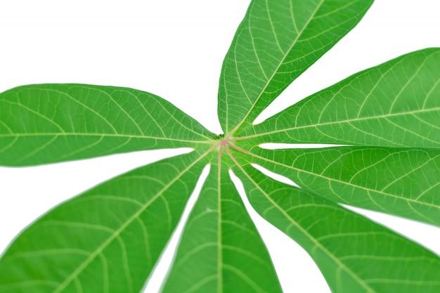 Folha de mandioca frente isolado no fundo branco