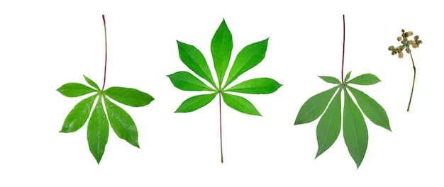 Folha de mandioca isolada em fundo branco