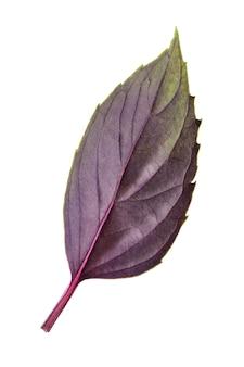 Folha de manjericão vermelho fresco isolada