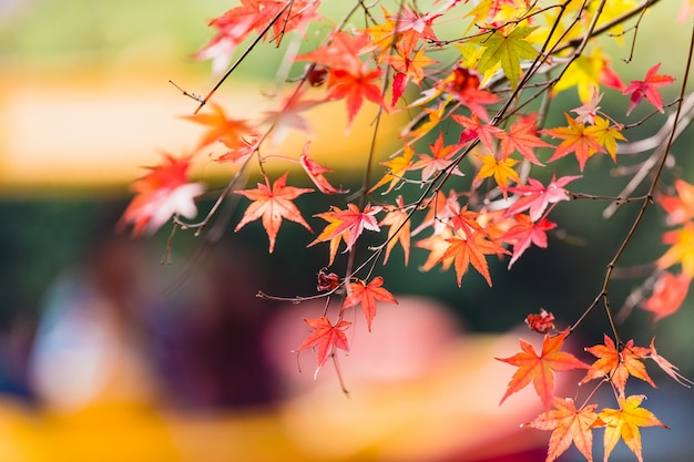 Folha de maple amarelo