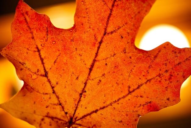 Folha de maple vermelho
