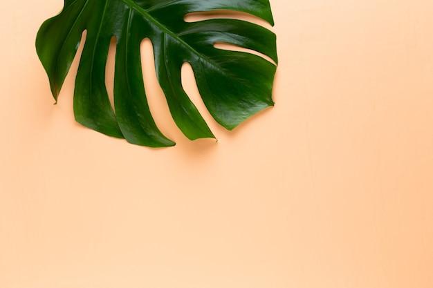 Folha de monstera na cor de fundo. folha de palmeira, folhagem real da selva tropical planta de queijo suíço cama plana e vista superior.
