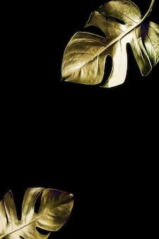 Folha de ouro monstera isolada em um fundo preto.